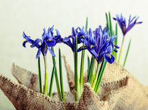 Iris flowers in burlap on beige background Stock Photo