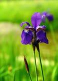 Iris Flowers contro fondo verde Immagini Stock