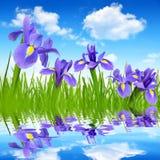 Iris flowers Royalty Free Stock Image