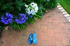 Agapantha flowers in Garden. Purple white agapanthus flowers with flip flop jandals in New Zealand garden stock photography