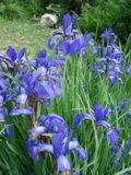 Iris flowers group in park. Iris sanguinea flowers in park in spring Royalty Free Stock Photo