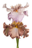 Iris Flowers Isolated Fotos de archivo