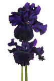 Iris Flowers Isolated Imagenes de archivo