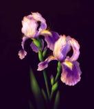 Iris Flowers Isolated. On dark Background Stock Photo