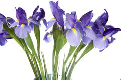 Iris Flowers Isolated on White Backgroun Stock Images