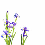Iris flowers isolated on white Royalty Free Stock Image