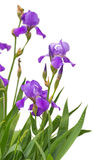 Iris flowers isolated on white background Stock Photography
