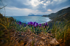 Iris flowers near the sea Royalty Free Stock Photos