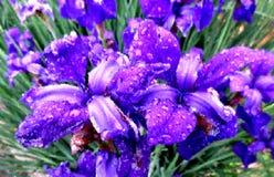 Iris Flowers Painting empapada lluvia Fotografía de archivo libre de regalías