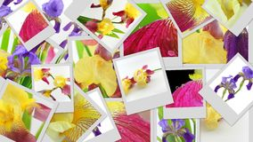 Iris flowers photo collage Royalty Free Stock Photos