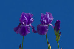 Iris flowers Stock Photography