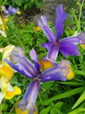 Iris flowers. Purple and yellow flowering plants in the garden Royalty Free Stock Photography