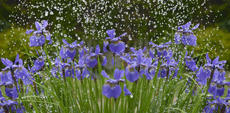 Iris flowers in rain. Blue iris flowers in rain Stock Photos