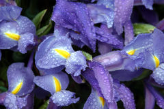 Iris flowers with rain drops. Close up view of Beautiful violet iris flowers with rain drops Stock Photo