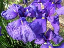 Iris Flowers roxa na flor completa em junho na mola fotografia de stock royalty free