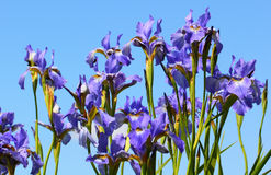 Iris flowers on sky background Royalty Free Stock Photos