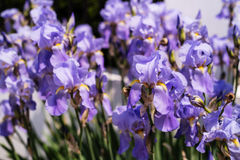 Iris flowers in the sun Stock Images