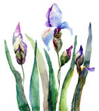 Iris flowers, watercolor illustration Stock Images