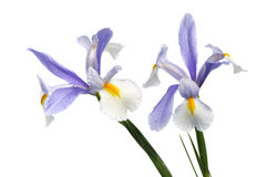 Iris flowers on white background Royalty Free Stock Image