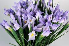 Iris flowers on the white background Stock Image
