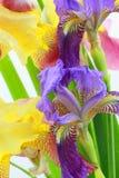 Iris flowers on white background Royalty Free Stock Image