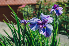 Iris Flowers On The Wind Lizenzfreies Stockbild
