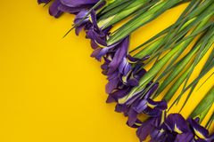 Iris flowers on a yellow background stock photography