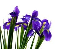 iris frais d'isolement Photos stock