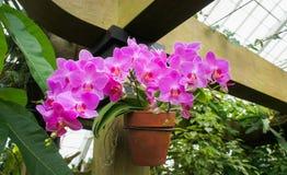 Iris fuchsia photographie stock libre de droits