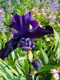 An Iris in full bloom and budding. A vibrant dark purple iris at the Bishop Palace Garden in Chichester, England, UK. A full iris and one tightly coiled bud royalty free stock images