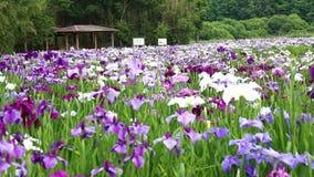 Iris Garden video d archivio