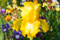Iris on garden background Stock Photos