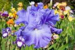 Iris on garden background. Blue iris on garden background Stock Photos