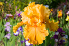 Iris on garden background Royalty Free Stock Photo