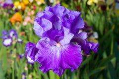 Iris on garden background Stock Image
