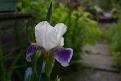 Iris in garden Royalty Free Stock Image