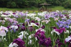 Iris garden. Beppu`s Kagurame lake iris garden Stock Photos