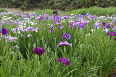 Iris garden. Beppu`s Kagurame lake iris garden Stock Photography