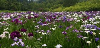 Iris garden. Beppu`s Kagurame lake iris garden Royalty Free Stock Images