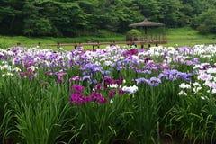 Iris garden. Beppu`s Kagurame lake iris garden Royalty Free Stock Image