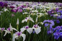 Iris garden. Of BepuuJ apan Royalty Free Stock Photos