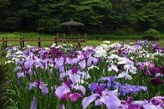 Iris garden. Of BepuuJ apan Stock Photo