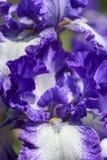 Iris garden Stock Images