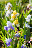 Iris garden Stock Photography