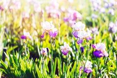 Iris garden Stock Photos