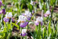 Iris garden Royalty Free Stock Photo