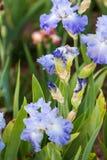 Iris garden Royalty Free Stock Photos