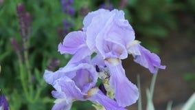 Iris in the Garden stock video