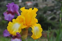 Iris Garden Series - Bright Yellow Bearded Iris That`s All Folks Stock Image