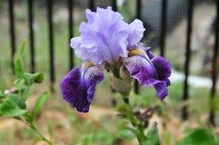 Iris Garden Series - Lavender With Dark Purple Bearded Iris Total Obsession Stock Photo